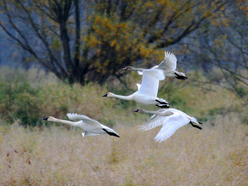 A family of Tundra Swans, Fernhill Wetlands, Forest Grove, Oregon on 27 November 2008 by Greg Gillson.
