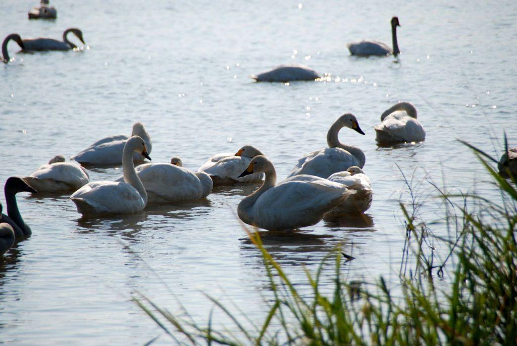 Mogami-gawa Swan Park
