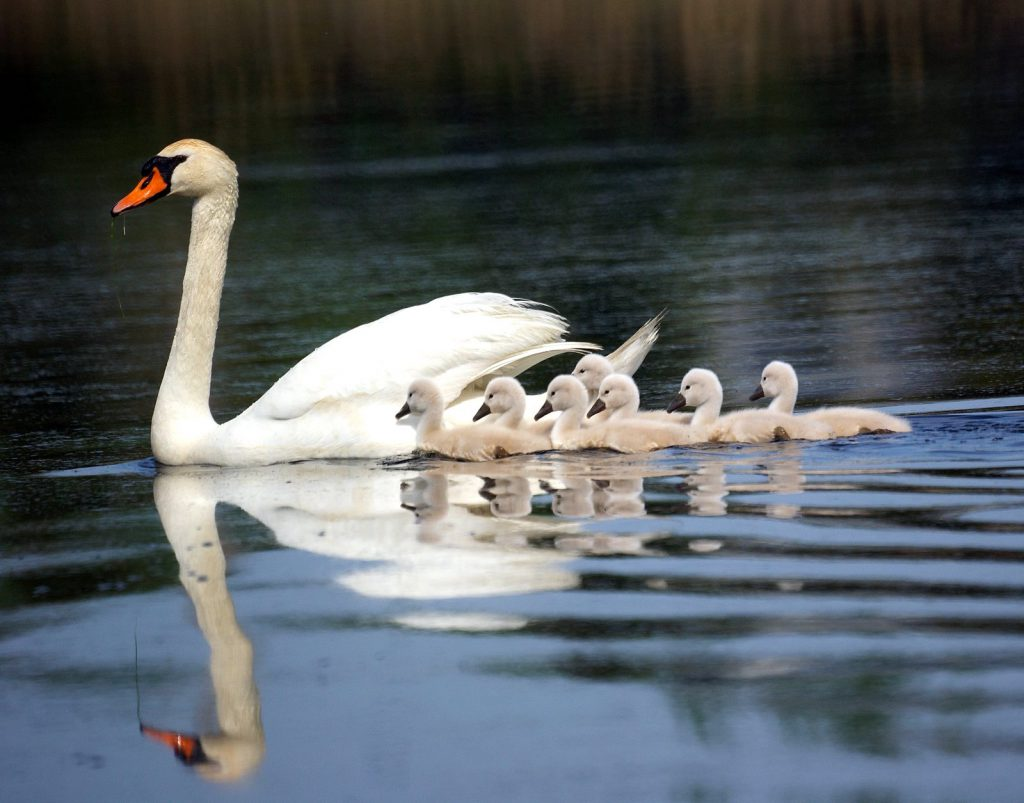 Mother swan with baby ones
