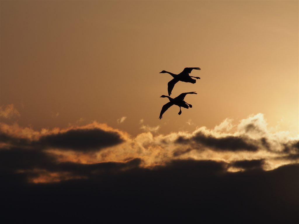 Mute Swans in silhouette