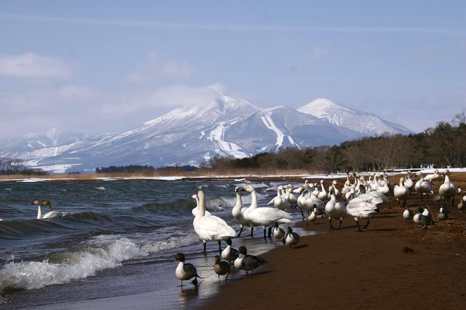 Swans at Inawashiro-ko Lake