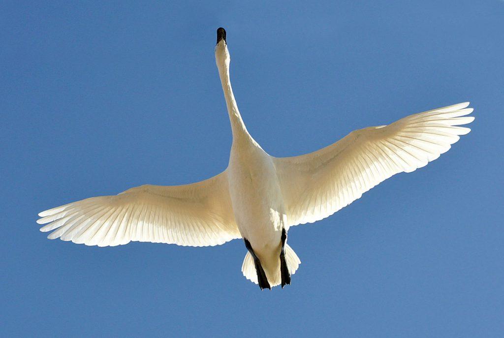 Swan incoming
