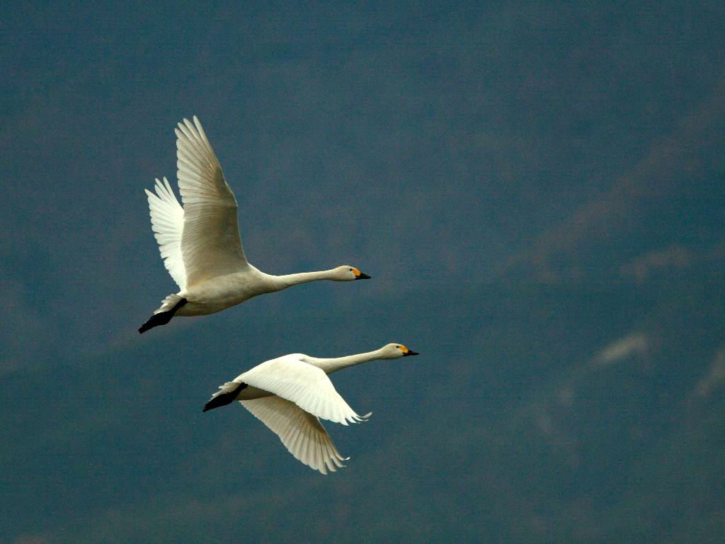 Swan, two swans flying