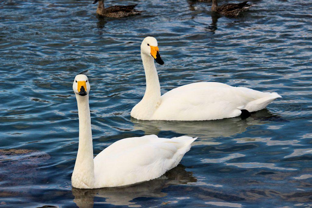 Swans in Matsuhima, Japan