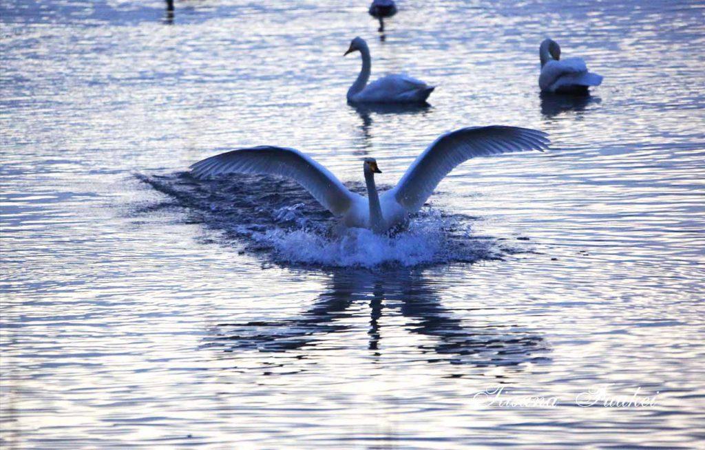 Swans in Mogami-gawa Swan Park in Sakata, Yamagata