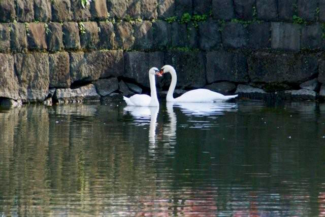 Swans in moat of Tokyo Imperial Palace