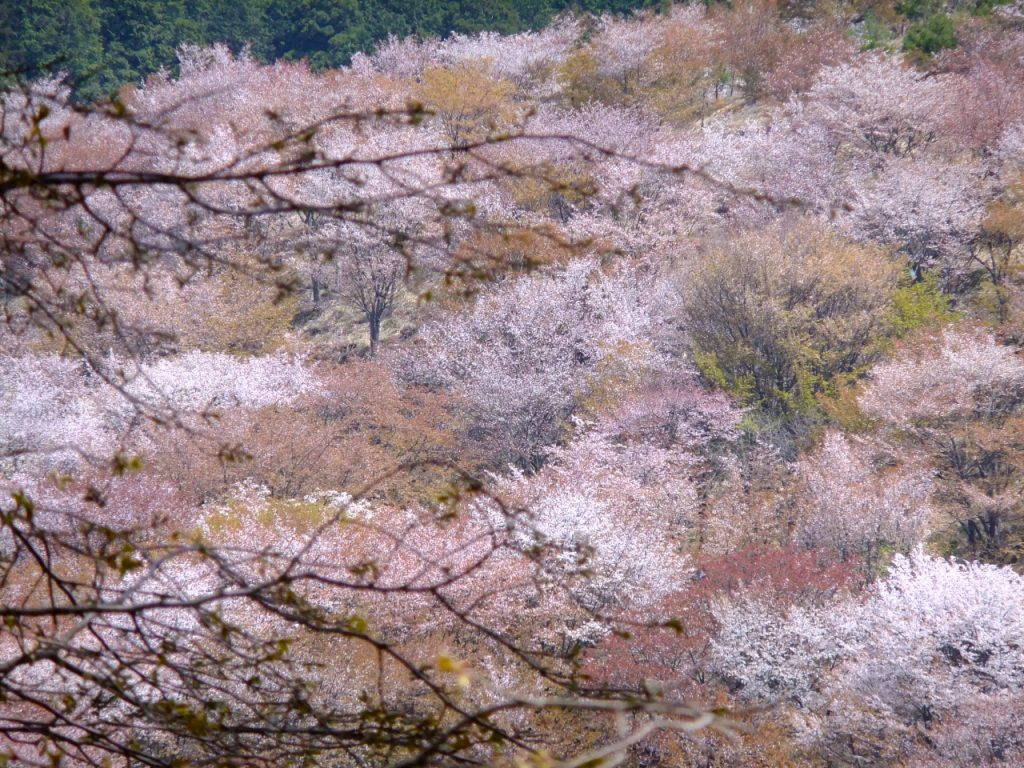 Cherry blossoms in Mt. Yoshino