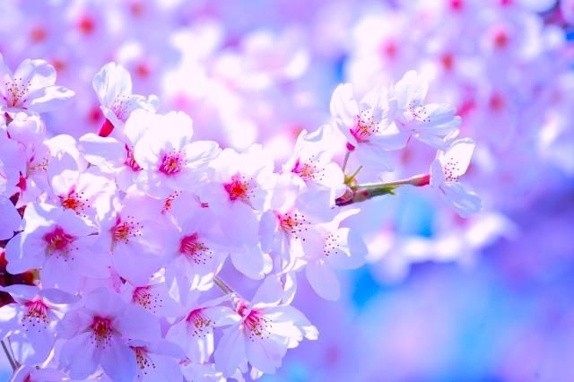 Sakura Flower - cherry blossom