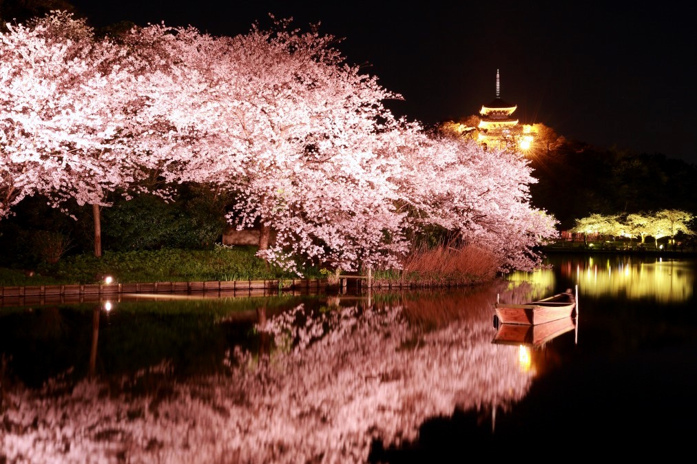 Cherry Blossom in the evening at Sankeien in Yokohama