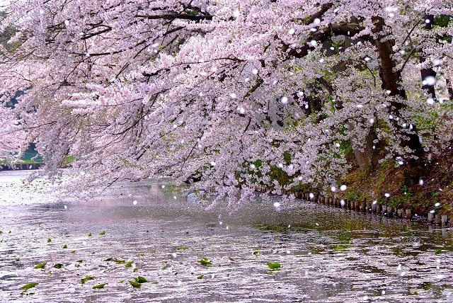 Sakura Fubuki, A shower of Cherry Blossom