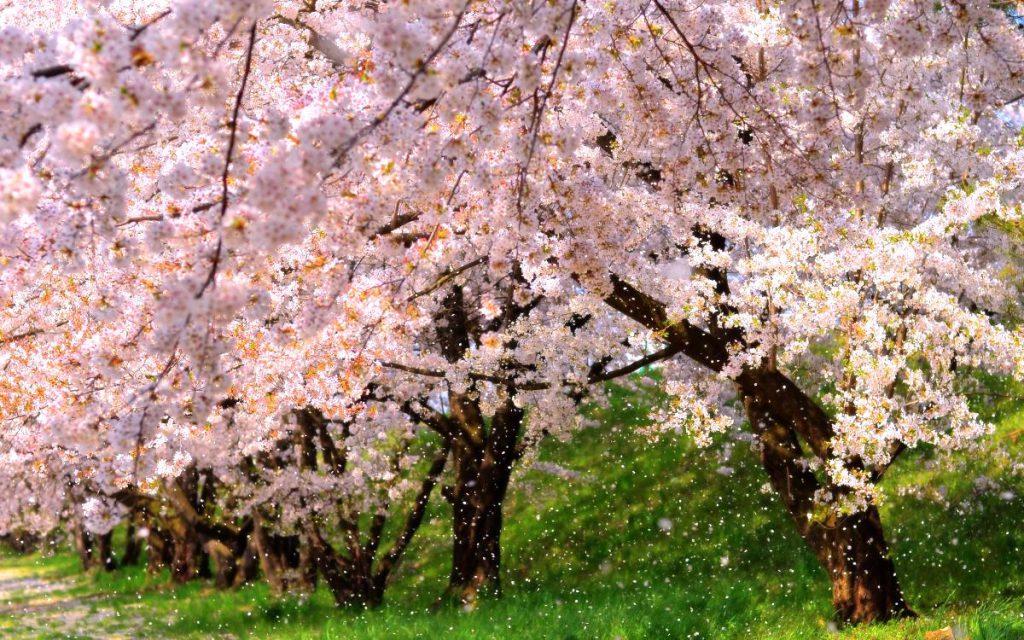 Sakura at Garyu Park in Nagano