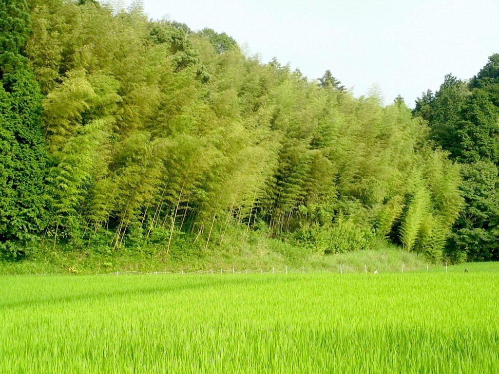 Satoyama, a Bamboo Grove