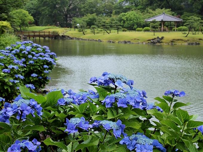 Hydrangea in the Hamarikyu Palace Garden in Tokyo, Japan