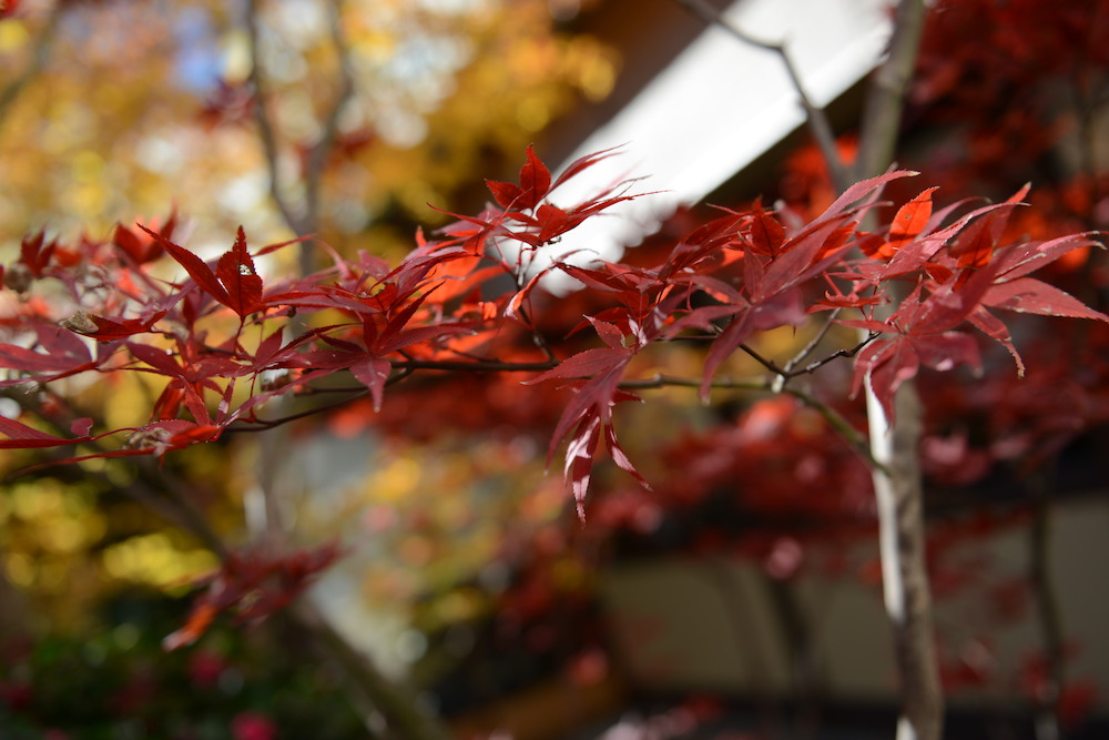 Kanda Yabusoba, red maple leaves